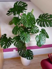 zimmerpflanze monstera pflanzen garten g nstige angebote. Black Bedroom Furniture Sets. Home Design Ideas