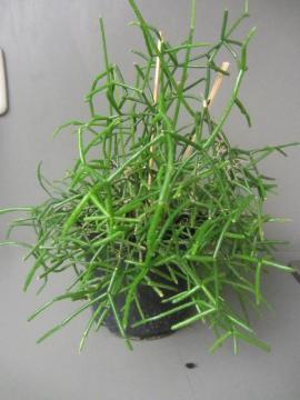 Zimmerpflanzen Grünlilie Begonie Hoya Yukka: Kleinanzeigen aus München Schwabing-West - Rubrik Pflanzen