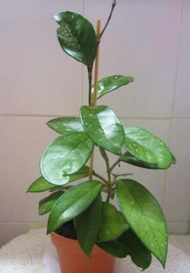 Bild 4 - Zimmerpflanzen Grünlilie Begonie Hoya Yukka - München Schwabing-West