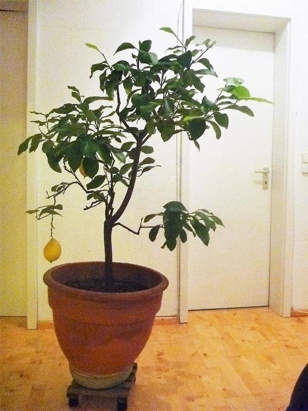 zitronenbaum citrusbaum in stutensee pflanzen kaufen und. Black Bedroom Furniture Sets. Home Design Ideas