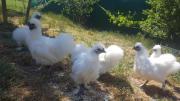 Zwerg-Seidenhühner, nur