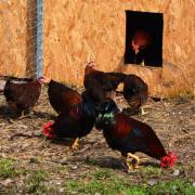 Zwerg-Welsumer Zuchtgruppen und Tiere