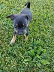 Zwergpinscher - Chihuahua/Prager